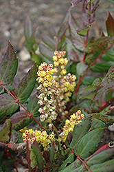 Oregon Grape Holly (Mahonia nervosa) at Alsip Home and Nursery