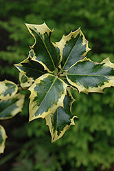 Golden King Holly (Ilex x altaclerensis 'Golden King') at Alsip Home and Nursery