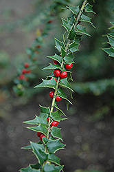 Perny Holly (Ilex pernyi) at Alsip Home and Nursery
