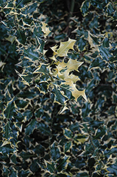 Dapper English Holly (Ilex aquifolium 'Dapper') at Alsip Home and Nursery