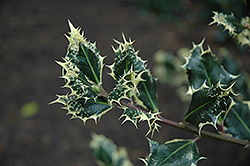 Silver Hedgehog Holly (Ilex aquifolium 'Ferox Argentea') at Alsip Home and Nursery