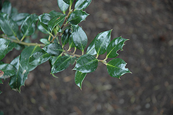 Rederly English Holly (Ilex aquifolium 'Rederly') at Alsip Home and Nursery