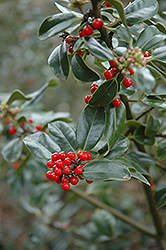 Scotica English Holly (Ilex aquifolium 'Scotica') at Alsip Home and Nursery