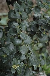 Malcolm S. Whipple English Holly (Ilex aquifolium 'Malcolm S. Whipple') at Alsip Home and Nursery