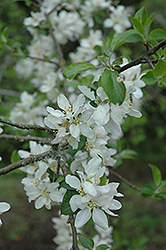 Niedzwetzkyana Flowering Crab (Malus pumila 'Niedzwetzkyana') at Alsip Home and Nursery