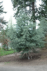 Baker's Cypress (Cupressus bakeri) at Alsip Home and Nursery