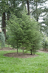Gowen Cypress (Cupressus goveniana) at Alsip Home and Nursery