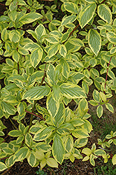 Hedgerows Gold Variegated Red-Twig Dogwood (Cornus sericea 'Hedgerows Gold') at Alsip Home and Nursery