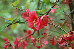 Phyllis Moore Flowering Quince (Chaenomeles speciosa 'Phyllis Moore') at Alsip Home and Nursery