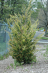 Evergreen Witch Hazel (Distylium racemosum) at Alsip Home and Nursery
