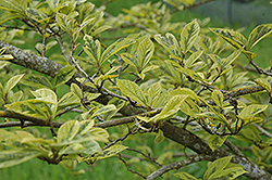 Variegated Sycoparrotia (Sycoparrotia x semidecidua 'Variegata') at Alsip Home and Nursery