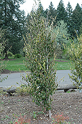 Chinese Fighazel (Sycopsis sinensis) at Alsip Home and Nursery