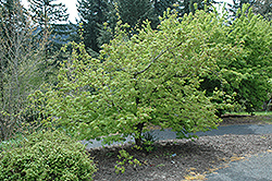 Monroe Vine Maple (Acer circinatum 'Monroe') at Alsip Home and Nursery