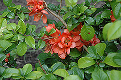 Orange Beauty Flowering Quince (Chaenomeles japonica 'Orange Beauty') at Alsip Home and Nursery