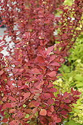 Red Carpet Japanese Barberry (Berberis thunbergii 'Red Carpet') at Alsip Home and Nursery