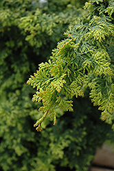 Gold Fern Hinoki Falsecypress (Chamaecyparis obtusa 'Gold Fern') at Alsip Home and Nursery