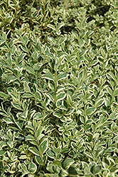 Variegated Boxwood (Buxus sempervirens 'Elegantissima') at Alsip Home and Nursery