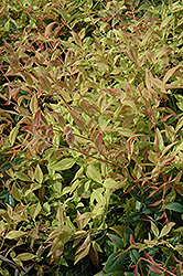 Gulf Stream Dwarf Nandina (Nandina domestica 'Gulf Stream') at Alsip Home and Nursery