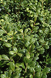 Northern Beauty Japanese Holly (Ilex crenata 'Northern Beauty') at Alsip Home and Nursery