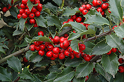 Berri-Magic Meserve Holly (Ilex x meserveae 'Berri-Magic') at Alsip Home and Nursery