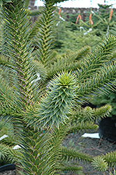 Monkey Puzzle Tree (Araucaria araucana) at Alsip Home and Nursery