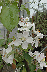 Gala Apple (Malus 'Gala') at Alsip Home and Nursery