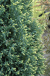 Snow White Falsecypress (Chamaecyparis lawsoniana 'Snow White') at Alsip Home and Nursery
