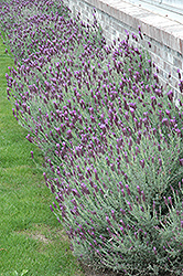 Otto Quast Spanish Lavender (Lavandula stoechas 'Otto Quast') at Alsip Home and Nursery