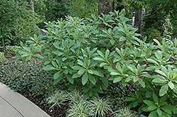 Oriental Paper Bush (Edgeworthia papyrifera) at Alsip Home and Nursery