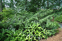 Chinese Plum Yew (Cephalotaxus fortunei) at Alsip Home and Nursery