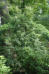 Sweet Pepperbush (Clethra monostachya) at Alsip Home and Nursery