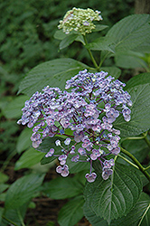 Uzu Hydrangea (Hydrangea macrophylla 'Uzu') at Alsip Home and Nursery