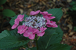 Sunset Hydrangea (Hydrangea macrophylla 'Sunset') at Alsip Home and Nursery