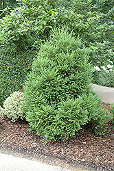 Gyokuryu Japanese Cedar (Cryptomeria japonica 'Gyokuryu') at Alsip Home and Nursery