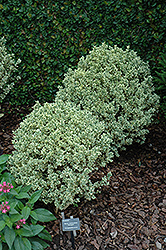 Variegated Boxwood (Buxus sempervirens 'Variegata') at Alsip Home and Nursery