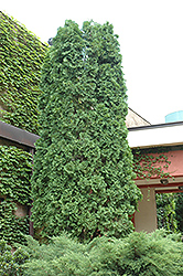 Pyramidal Arborvitae (Thuja occidentalis 'Pyramidalis') at Alsip Home and Nursery