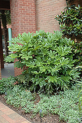 Japanese Fatsia (Fatsia japonica) at Alsip Home and Nursery