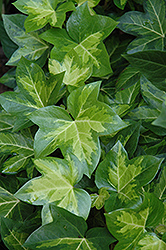 Golden Variegated Fatshedera (Fatshedera x lizei 'Aureovariegata') at Alsip Home and Nursery