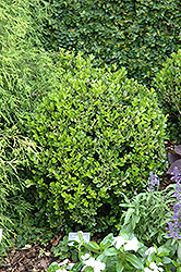 Winter Gem Boxwood (Buxus microphylla 'Winter Gem') at Alsip Home and Nursery