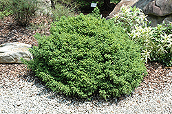 Wood's Dwarf Japanese Cedar (Cryptomeria japonica 'Wood's Dwarf') at Alsip Home and Nursery