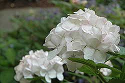 Sister Theresa Hydrangea (Hydrangea macrophylla 'Sister Theresa') at Alsip Home and Nursery