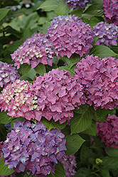 Pia Hydrangea (Hydrangea macrophylla 'Pia') at Alsip Home and Nursery