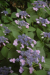 Lilacina Hydrangea (Hydrangea macrophylla 'Lilacina') at Alsip Home and Nursery