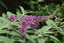 Miss Vicie Butterfly Bush (Buddleia lindleyana 'Miss Vicie') at Alsip Home and Nursery