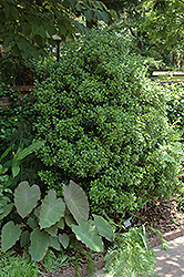 Upright False Holly (Osmanthus heterophyllus 'Fastigiata') at Alsip Home and Nursery
