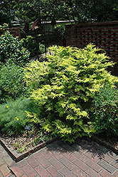 Cripps Gold Falsecypress (Chamaecyparis obtusa 'Crippsii') at Alsip Home and Nursery