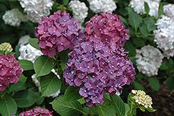 Miss Belgium Hydrangea (Hydrangea macrophylla 'Miss Belgium') at Alsip Home and Nursery