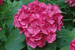 Merritt's Supreme Hydrangea (Hydrangea macrophylla 'Merritt's Supreme') at Alsip Home and Nursery