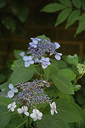 Blue Billow Hydrangea (Hydrangea serrata 'Blue Billow') at Alsip Home and Nursery