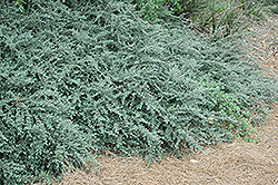 Gray Leaf Cotoneaster (Cotoneaster glaucophyllus) at Alsip Home and Nursery